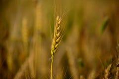 Tarwe, Landbouw, Royalty-vrije Stock Afbeeldingen