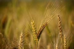 Tarwe, Landbouw, Royalty-vrije Stock Afbeelding