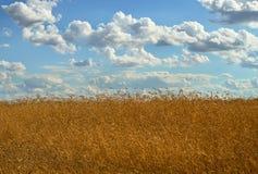 Tarwe onder een bewolkte hemel royalty-vrije stock afbeelding