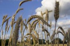 Tarwe op acre op zonnige dag dichte omhooggaand stock foto