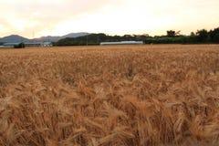 Tarwe op een landbouwbedrijfgebied stock afbeelding