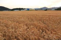 Tarwe op een landbouwbedrijfgebied royalty-vrije stock foto