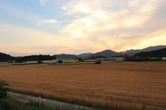 Tarwe op een landbouwbedrijfgebied stock foto