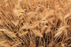 Tarwe op een landbouwbedrijfgebied stock foto's