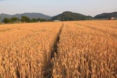 Tarwe op een landbouwbedrijfgebied stock fotografie