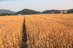 Tarwe op een landbouwbedrijfgebied royalty-vrije stock fotografie