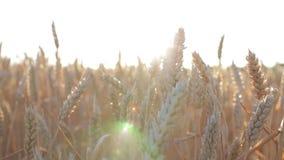 Tarwe op een tarwegebied bij zonsondergang stock video