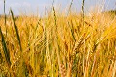 Tarwe, product van de hete zomer stock foto's