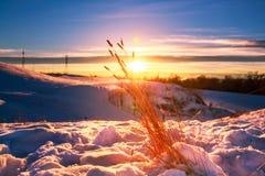 Tarwe in Sneeuw Stock Afbeelding