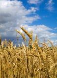 Tarwe vóór oogst Stock Foto's