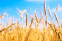 Tarweaar en blauw hemelclose-up Een gouden gebied Mooie Mening symbool van oogst en vruchtbaarheid Het oogsten, brood royalty-vrije stock afbeelding