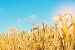 Tarweaar en blauw hemelclose-up Een gouden gebied Mooie Mening symbool van oogst en vruchtbaarheid Het oogsten, brood royalty-vrije stock fotografie