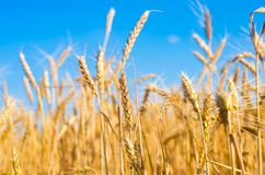 Tarweaar en blauw hemelclose-up Een gouden gebied Mooie Mening symbool van oogst en vruchtbaarheid Het oogsten, brood royalty-vrije stock foto's