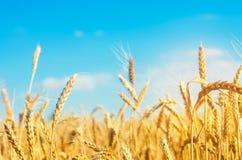 Tarweaar en blauw hemelclose-up Een gouden gebied Mooie Mening symbool van oogst en vruchtbaarheid Het oogsten, brood stock afbeelding