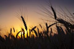 Tarwegebied bij zonsondergang Stock Afbeelding