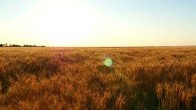 Tarwegebied bij zonsondergang, het close-up van tarwearen Het oogsten en het oogsten Beweging van de camera stock footage