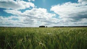 Tarwegebied in de lente, mooi landelijk landschap, groen gras en blauwe hemel met wolken stock videobeelden