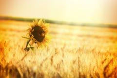 Tarwegebied en één zonnebloem Royalty-vrije Stock Afbeelding
