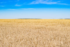 Tarwegebied en hemel in de zomer Royalty-vrije Stock Foto