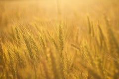 Tarwegebied in Gouden Zonlicht royalty-vrije stock afbeelding