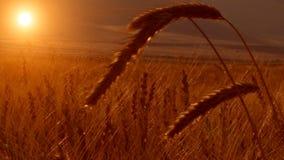 Tarwegebied het oogsten stock videobeelden