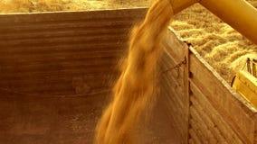 Tarwegebied het oogsten stock video