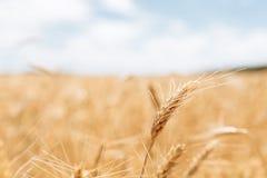 Tarwegebied, landschapsmening, Zonnige dag, vele hectaren land met tarwe royalty-vrije stock afbeelding