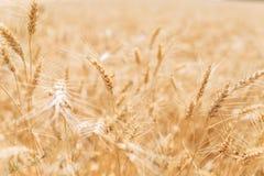 Tarwegebied, landschapsmening, Zonnige dag, vele hectaren land met tarwe royalty-vrije stock fotografie