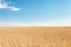 Tarwegebied, landschapsmening, Zonnige dag, vele hectaren land met tarwe royalty-vrije stock foto