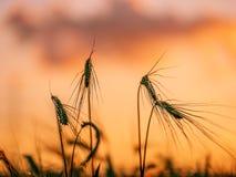 Tarwegebied met kleurrijke zonsondergang op de achtergrond stock foto's