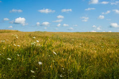 Tarwegebied met weinig wolken in een blauwe hemel Royalty-vrije Stock Foto