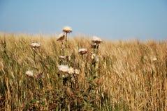 tarwegebied met witte bloemen Royalty-vrije Stock Foto's