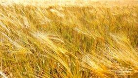 Tarwegebied onder blauwe hemel in zonnige de zomerdag Gouden tarwegebied die door de wind blazen Het landschap van de aard stock video