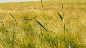 Tarwegebied onder zonnige dag, motie onder lichte wind, wat stro op voorgrond stock video