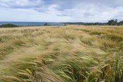 Tarwegebied op de kust in Ierland Royalty-vrije Stock Fotografie