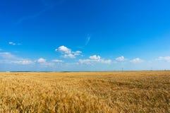 Tarwegebied vóór oogst Stock Foto