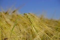 Tarwegebied wheatear van korrel Royalty-vrije Stock Foto