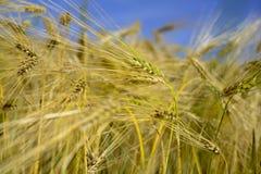 Tarwegebied wheatear van korrel Royalty-vrije Stock Fotografie