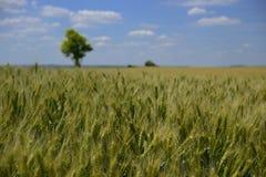 Tarwegebied wheatear van korrel Stock Foto's