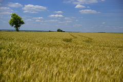 Tarwegebied wheatear van korrel Stock Fotografie