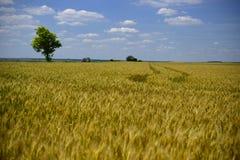 Tarwegebied wheatear van korrel Royalty-vrije Stock Afbeeldingen