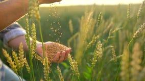 Tarwekorrels die neer van landbouwers` s hand vallen De mens van de handenlandbouwer met tarwe Sluit omhoog, Langzame motie Onher stock footage