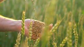 Tarwekorrels die neer van landbouwers` s hand vallen De mens van de handenlandbouwer met tarwe Sluit omhoog, Langzame motie Onher stock videobeelden