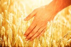 Tarweoren in mensen` s hand Het concept van de oogst De herfst verlaat grens met diverse groenten op witte achtergrond royalty-vrije stock foto's