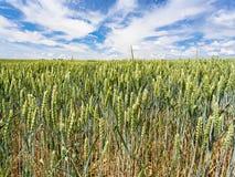 tarweoren op gebied in het gebied van Picardie van Frankrijk Stock Fotografie
