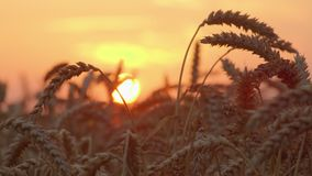 Tarweoren tegen zonsondergang Het schot van de tijdtijdspanne stock footage