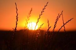 Tarwesilhouet en zonsondergang op de achtergrond stock foto's