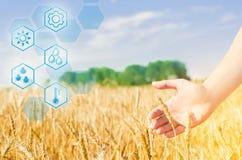 Tarwespruiten in een landbouwers` s hand tarwecultuur en blauwe hemelclose-up Een gouden gebied Mooie Mening Het oogsten, brood P stock afbeeldingen