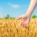 Tarwespruiten in een landbouwers` s hand tarwecultuur en blauwe hemelclose-up Een gouden gebied Mooie Mening symbool van oogst en stock foto's