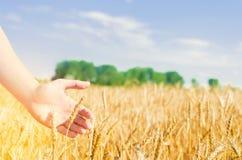 Tarwespruiten in een landbouwers` s hand tarwecultuur en blauwe hemelclose-up Een gouden gebied Mooie Mening symbool van oogst en royalty-vrije stock fotografie